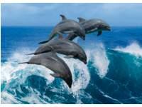 Ansichtkaarten 5735 Dolfijnen in actie, 4 motieven, 48 stuks