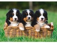 Miniposters Puppy's 889 4 motieven, 20 stuks